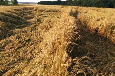 Причины полегания посевов и основные методы борьбы с ним